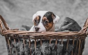 Wallpaper basket, dog, puppy