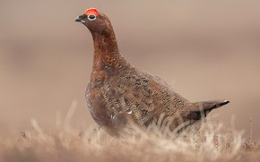 Picture nature, bird, the grouse