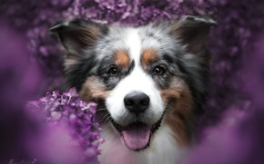 Picture look, face, joy, flowers, smile, mood, portrait, dog, bokeh, Australian shepherd, Aussie