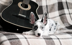 Picture guitar, dog, puppy, puppy, dog, border collie, border collie