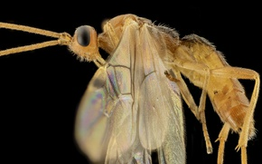 Picture wings, rider, insect, braconid