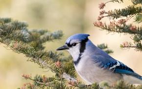 Picture bird, branch, beak, blue Jay