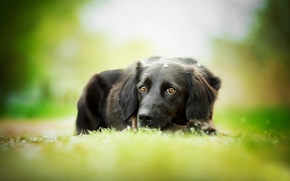 Picture dog, black, weed, bokeh, The most beautiful eyes