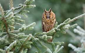 Picture winter, greens, forest, snow, trees, branches, nature, background, owl, bird, needles, bokeh