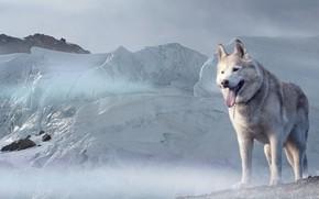 Wallpaper look, face, snow, Dog, glacier, Husky