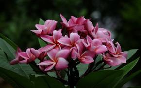 Picture leaves, branch, petals, Plumeria, flowering, leaves, branch, flowering, Plumeria petals