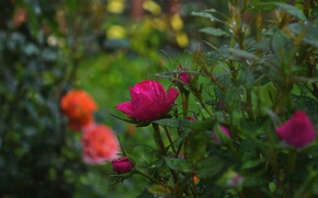 Picture Rain, Buds, Roses, Nature, Rose, Rain