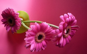 Picture flowers, gerbera, pink background