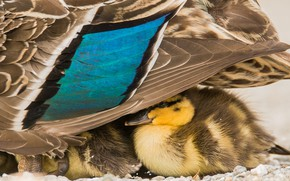 Wallpaper nature, duck, birds