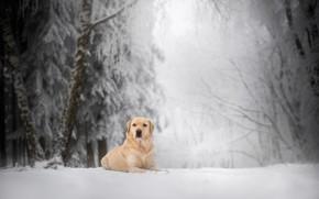 Picture winter, forest, snow, dog, Labrador Retriever