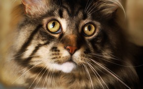 Picture cat, eyes, cat, look, face, close-up, grey, portrait, wool, fluffy, striped, eyed