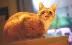 Picture cat, cat, look, face, table, window, red, sitting, photoshoot, the room, handsome