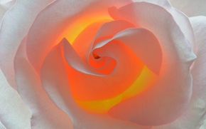 Picture flower, macro, rose