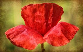 Picture flower, macro, nature, Mac, petals