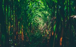 Picture field, corn, green field