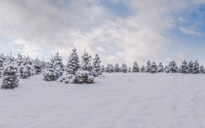 Picture cold, winter, forest, snow, trees, nature, tree, natural phenomenon