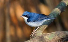 Picture bird, branch, blue Nightingale