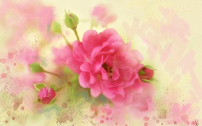 Picture flowers, pink, figure, graphics, rose, treatment, picture, petals, art, painting, buds, gently, easy, drawing, strokes, …