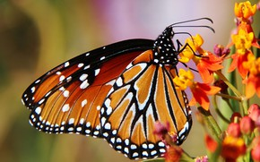 Picture flower, nature, butterfly, wings