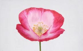 Picture flower, macro, Mac, petals