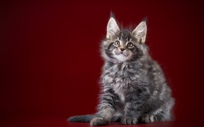 Picture Cat, kitty, baby, Maine Coon