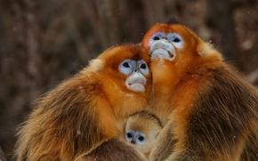 Picture monkey, monkey, family, monkeys