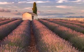 Picture flowers, house, France, lavender, plantation, Provence, Valensole