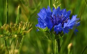 Picture flower, macro, cornflower, wild flower