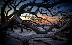 Picture trees, sunset, trunks