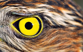 Picture yellow, feathers, Owl, eye