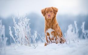 Picture winter, frost, field, grass, look, snow, nature, dog, red, cute, puppy, sitting, light background, Retriever, …