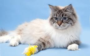 Picture cat, wool, breed, Neva masquerade