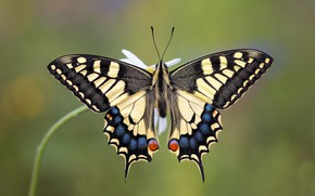Picture butterfly, animal, swallowtail