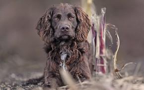 Picture The German Spaniel, German quail dog, German wachtelhund