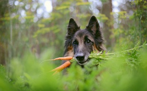 Wallpaper background, carrot, dog
