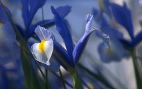 Picture flower, Rosa, drop, petals, iris