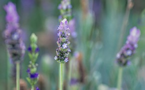 Picture flower, nature, plant, lavender