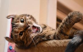Picture cat, yawns, cat