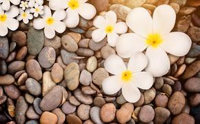 Picture stones, white, wood, flowers, plumeria, plumeria