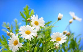 Picture the sky, the sun, flowers, chamomile, spring, spring