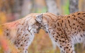 Wallpaper predators, weasel, lynx, love, wild cats, a couple