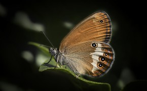 Picture macro, butterfly, the satyrinae, Siennica arkania