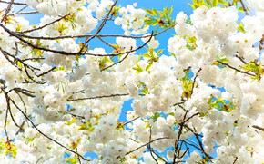 Picture Flowers, Tree, Spring, Sakura