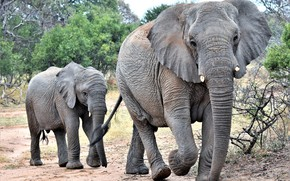 Picture family, the elephant, elephant