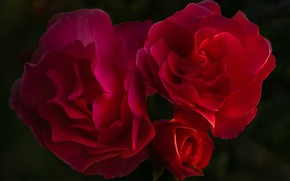 Picture roses, black background, red roses