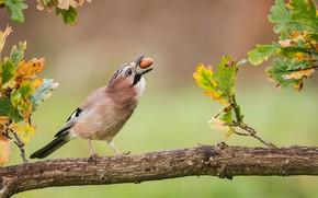Picture autumn, leaves, bird, branch, oak, acorn, Jay