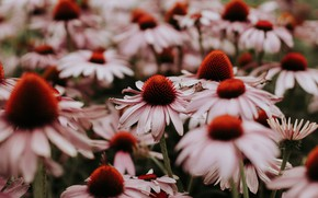 Picture flowers, nature, background, Echinacea