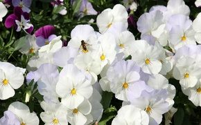 Picture white, bee, viola
