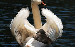 Picture bird, Swan, baby, mom