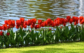 Picture greens, grass, leaves, water, flowers, lawn, shore, bright, positive, spring, tulips, red, buds, flowerbed, al, ...